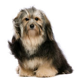 Cute sitting tricolor Havanese dog is looking to camera — Stock Photo