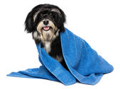 Happy dry havanese puppy dog after bath is dressed in a blue tow — Stock Photo