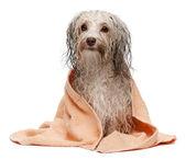 Wet chocolate havanese dog after bath — Stock Photo