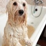 A bathing havanese dog — Stock Photo #33487393
