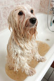 A bathing havanese dog — Stock Photo
