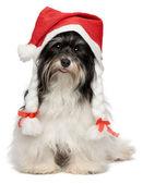 Happy Christmas havanese dog — Stock Photo