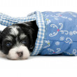 A cute havanese puppy dog lying in a mini basket — Stock Photo #34338057