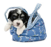 A cute awakening havanese puppy — Stock Photo