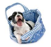 A cute awakening havanese puppy — Stock Photo