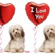 Lover Valentine Havanese dog set — Stock Photo #38108857