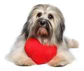 Cute lover Valentine Havanese dog with a red heart — Stock Photo
