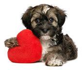 Lover Valentine Havanese male puppy dog — Stock Photo