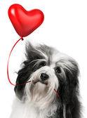 Kochanka walentynki hawańczyk psa — Zdjęcie stockowe