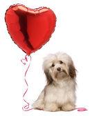 Lover Valentine Havanese dog — Stock Photo