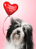 любовник валентина havanese собак — Стоковое фото