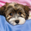 Cute tricolor Havanese puppy dog is lying in a bed — Stock Photo #39803593