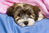 Cute tricolor Havanese puppy dog is lying in a bed — Stock Photo