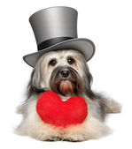 Lover valentine Havanese dog with a red heart and gray top hat — Stock Photo
