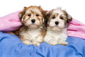 Two cute Havanese puppies are lying in a bed — Stock Photo