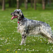 Cute blue belton English Setter dog in a spring flowering meadow — Stock Photo #46912999
