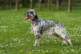 Cute blue belton English Setter dog in a spring flowering meadow — Stock Photo