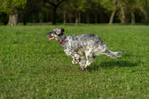 Cute blue belton English Setter dog is running cross on a meadow — Stock Photo