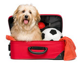 Happy reddish Bichon Havanese dog in a red traveling suitcase — Stock Photo