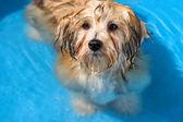 Cute havanese puppy is bathing in a blue water pool — Stock Photo
