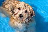Cute havanese puppy is bathing in a blue water pool — Stockfoto