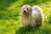 Wet playful Havanese dog is waiting for a water beam — Stock Photo