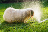 Happy Havanese dog is playing with a water beam — Stock Photo
