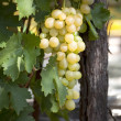 Bunch of white grapes ripen on the vine with green leaves — Stock Photo