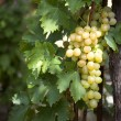 Bunch of white grapes on vine — Stock fotografie