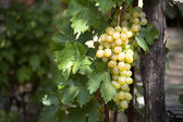 Bunch of white grapes on vine — Stock Photo