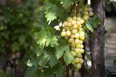 Massa vita druvor på vine — Stockfoto