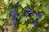 Bunch of red grapes on the vine — Stock Photo