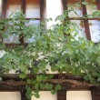 Vine grapes in an old house — Stock Photo