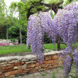 Garden with blooming wisteria — Stock Photo #27549859
