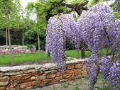 Garden with blooming wisteria — Stock Photo