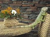 Green iguana crawling on chair — Stock Photo