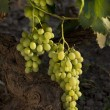 Stock Photo: Vine leaf , grape, nature