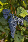 Black grapes on vineyard — Stock Photo
