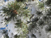 Conifer covered with snow winter landscape — Stock Photo