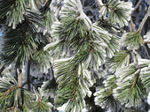 Conifer covered with snow winter landscape — ストック写真