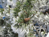 Conifer covered with snow winter landscape — Stockfoto