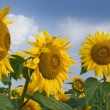 Sunflowers under the blue sky. Beautiful rural scene — Stock Photo #51326135