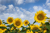 Sunflowers on a beautiful sky. Summer field. — Stock Photo
