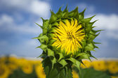 Young sunflower close up — Stock Photo