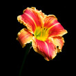 Asiatic Lily Red and Yellow Striped on Black Background — Stock Photo