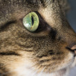 Closeup of Tabby Cat Face Profile — Stock Photo