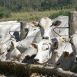 Stock Photo: Cows and oxs feeding