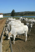 Cows and ox feeding — Stock Photo