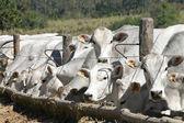 牛和 oxs 喂养 — 图库照片