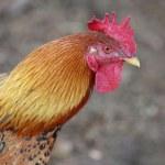 Cock — Stock Photo #32853499